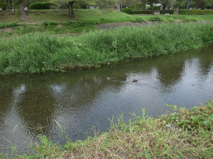 浅川の鴨はいつ見てもなごむ